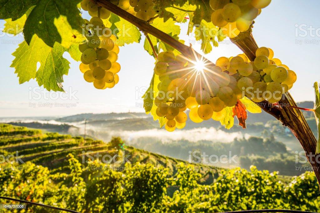 Close-up of fresh grapes on plants at vineyard stock photo