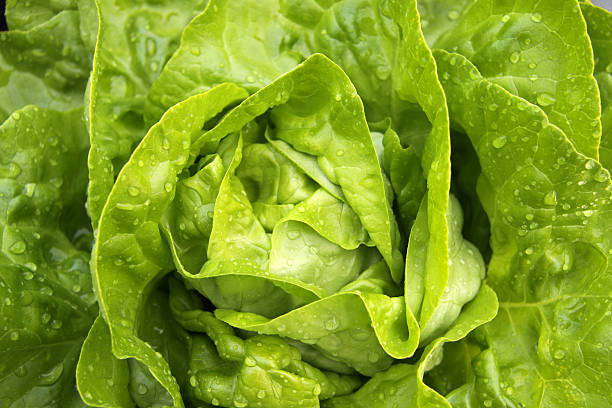 A close-up of fresh green lettuce Butterhead Lettuce Close-up - See my other Food-Close-up-images: butterhead lettuce stock pictures, royalty-free photos & images