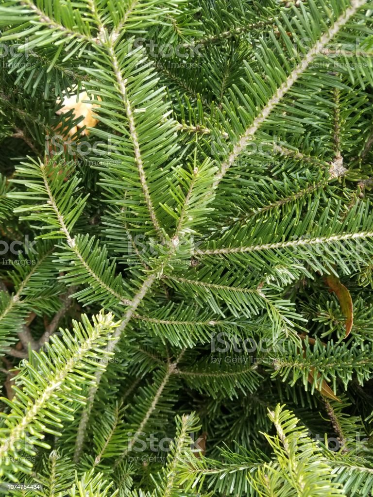 Douglas Fir Christmas Tree.Closeup Of Fresh Holiday Greenery Douglas Fir Christmas Tree