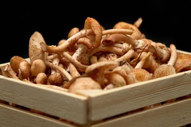 Closeup of fresh honey mushrooms in basket. stock photo