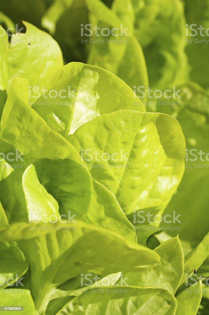 closeup of fresh lettuce royalty free stockfoto