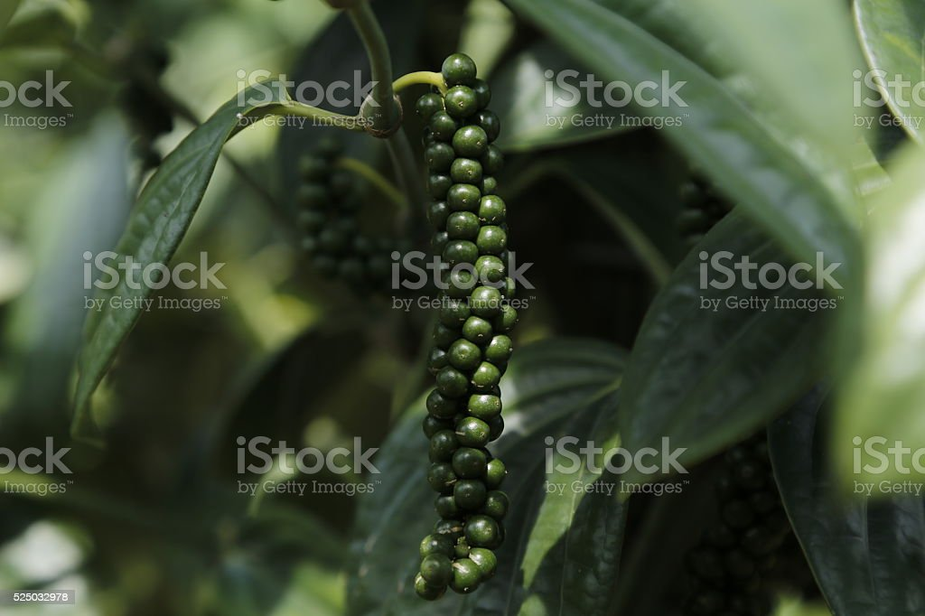 Close-up of fresh live green peppercorns (Black Pepper) in Sarawak. stock photo