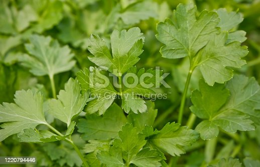 Close-up of organic parsley leaves