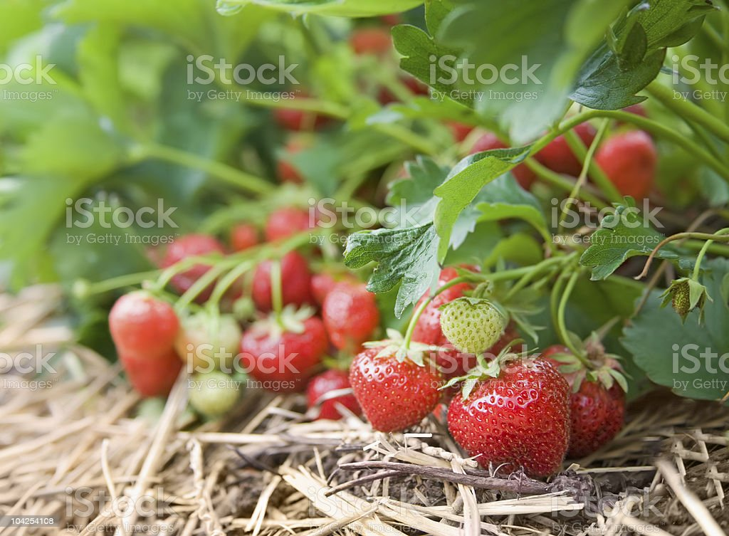 Closeup of fresh organic strawberries growing on the vine stock photo