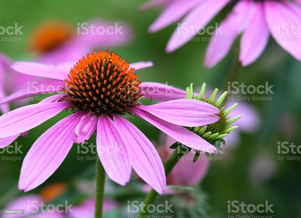 Closeup of Fresh Outdoor Purple Echinacea Flowers stock photo