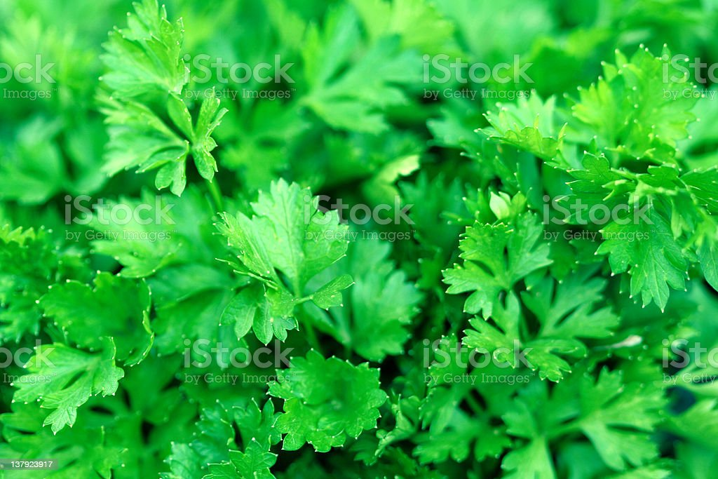 Close-up of fresh parsley leaves stock photo