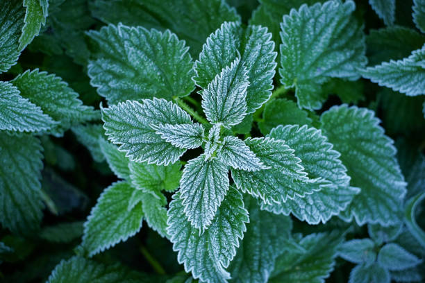 Close-up of fresh peppermint stock photo