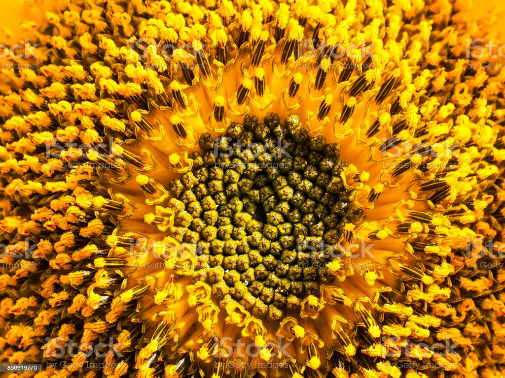 Close-up of fresh sunflower stock photo