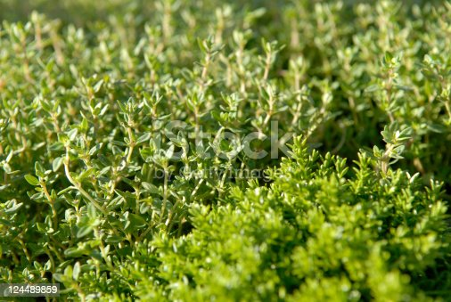 Lots of fresh thyme (Thymus vulgaris) - close-up.