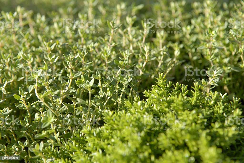 Close-up of fresh thyme on a field stock photo