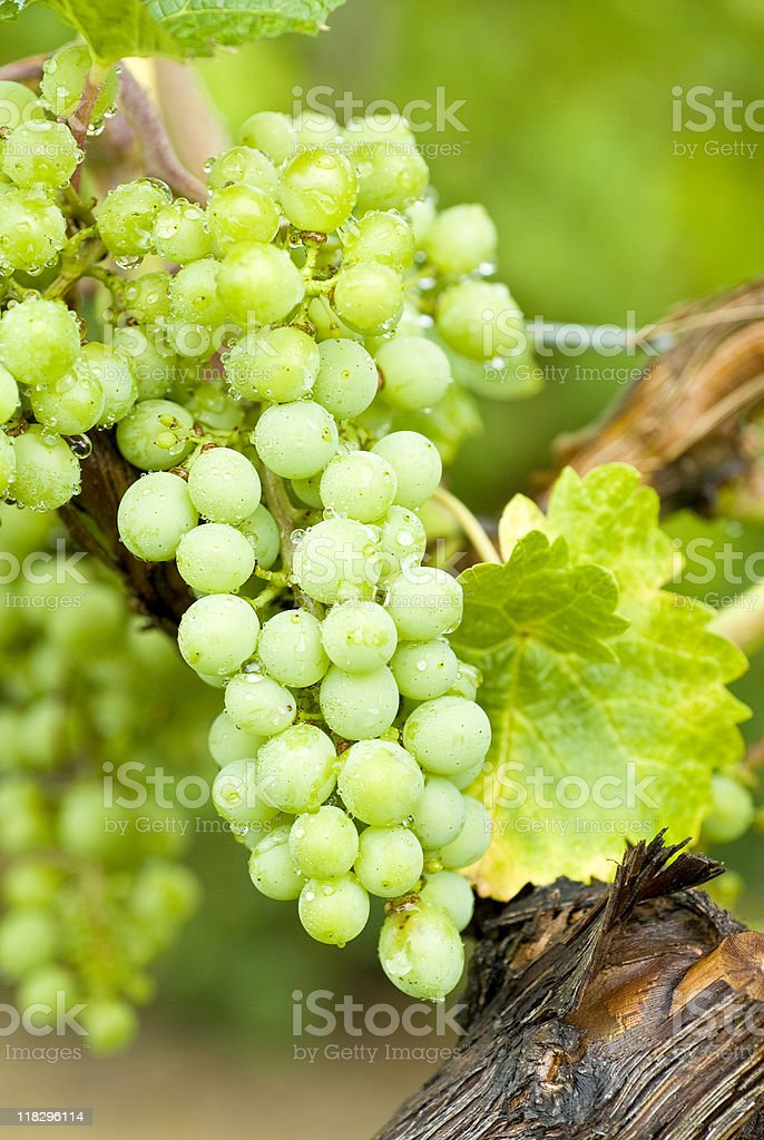 Close-up of fresh white wine grapes on vines royalty-free stock photo