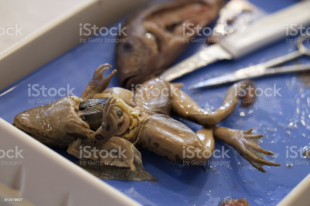 Closeup Of Frog And Fish Comparative Anatomy Dissection Stock Photo