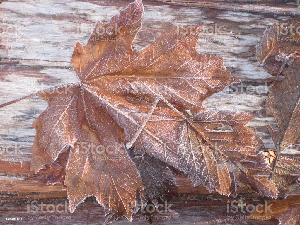Close-up of Frosty Brown Fall Leaves stock photo
