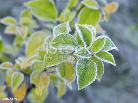 Bright green leaves of plant covered with morning frost.