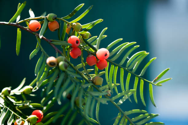 Close-Up Of Fruit Growing On Yew Tree stock photo