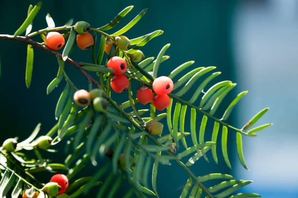 Nahaufnahme der Obstbau auf Eibe – Foto