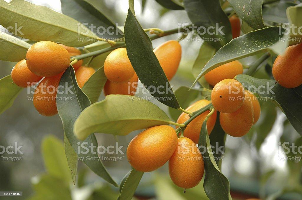 Close-up of fruit on a kumquat tree stock photo