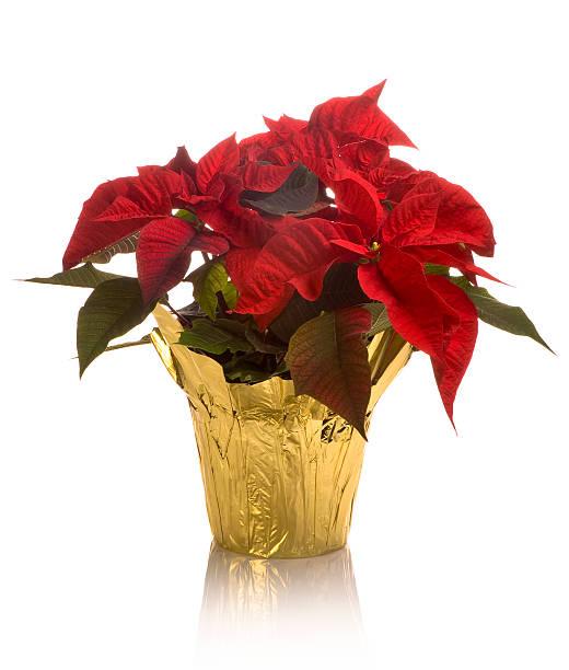 close-up of full blossom poinsettia pot in golden wrap - kerstster stockfoto's en -beelden