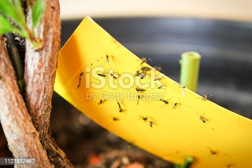 istock Closeup of fungus gnats being stuck to yellow sticky tape 1127877467