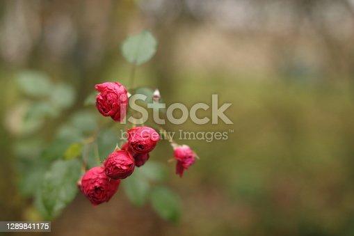 Macro Close-up of garden rose blooming in the summer in the garden