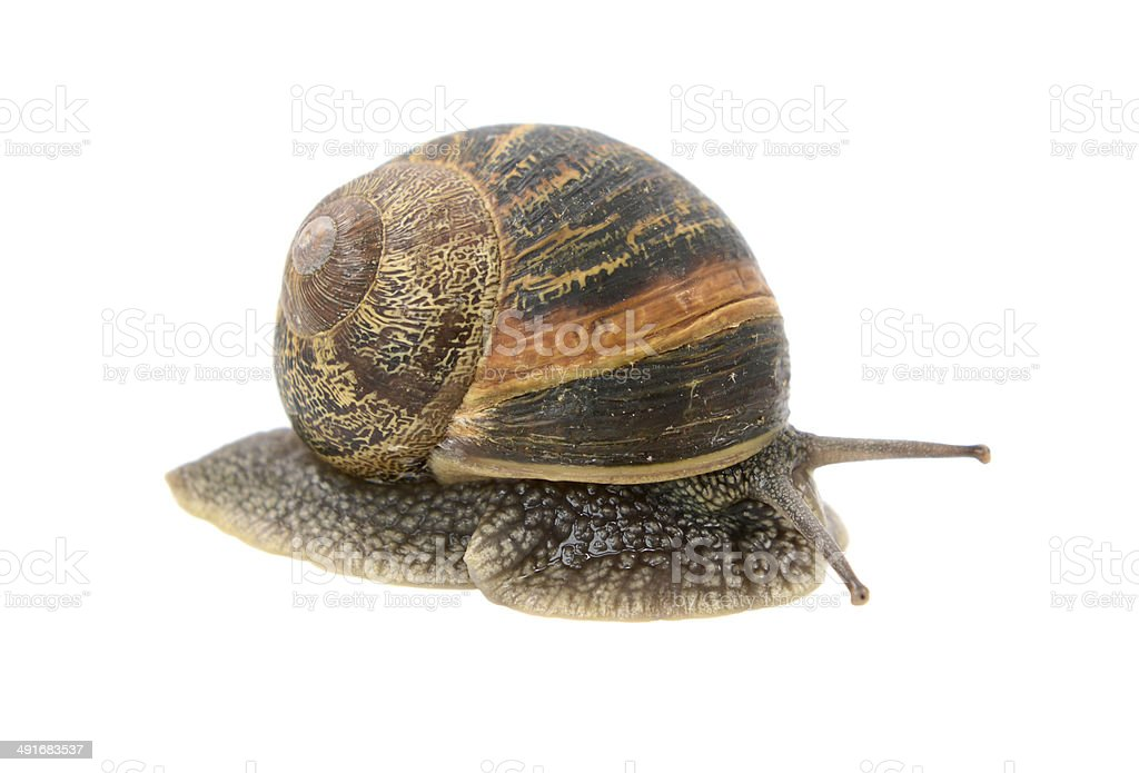 Closeup of garden snail emerging from its shell royalty-free stock photo