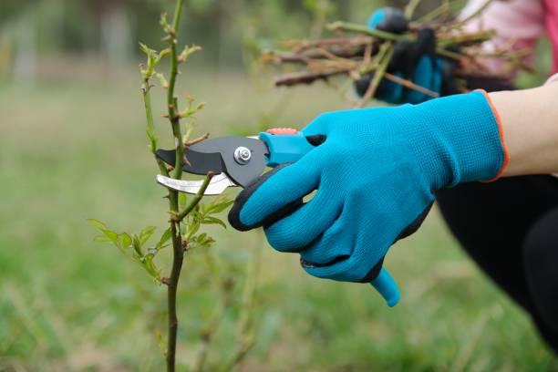 El primer plano de los jardineros mano en guantes protectores con podador de jardín haciendo la poda de primavera de arbusto de rosas. - foto de stock