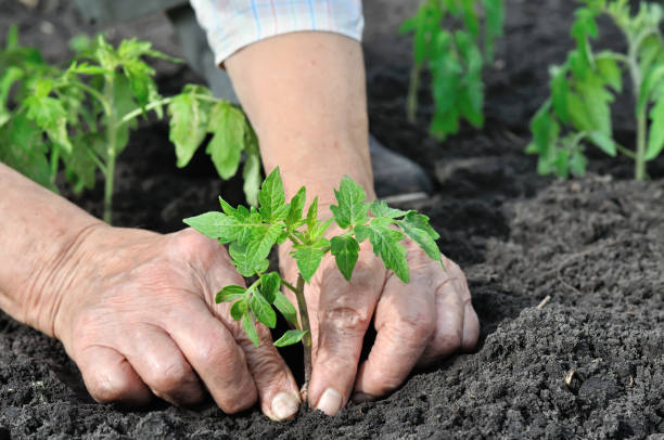 close-up of gardener's hands planting a tomato seedling close-up of gardener's hands planting a tomato seedling in the vegetable garden organic farm stock pictures, royalty-free photos & images