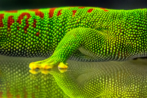 Close-up of Madagascar Day Gecko's leg and body on glass with strong reflection on a surface.