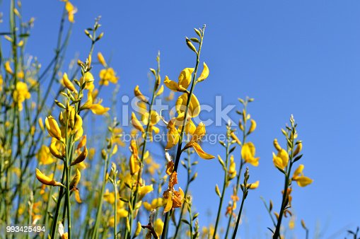 istock Close-up of Genisteae Bush in Bloom, Yellow Broom, Nature 993425494