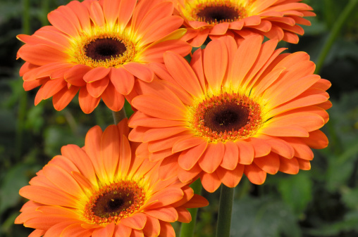 Close-up of gerbera daisies growing on a central California nursery.