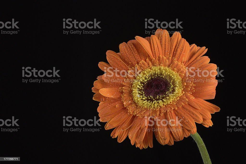 Close-up of Gerbera Daisy isolated on black stock photo