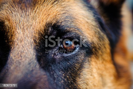 Dog German Shepherd looking towards the camera. The photo has an extremley shallow depth of field.