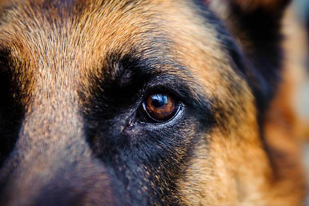 eye dog deutscher schäferhund blick in die kamera - hundeaugen stock-fotos und bilder