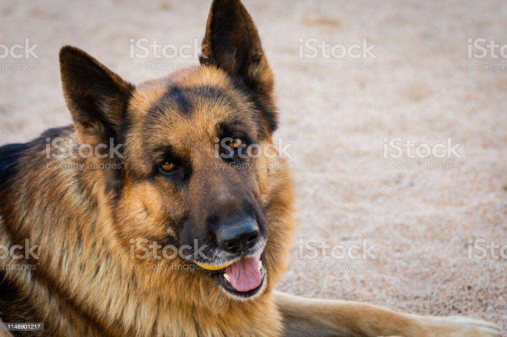 Close-up of german shepherd dog face. Pets portrait. Outdoor natural...