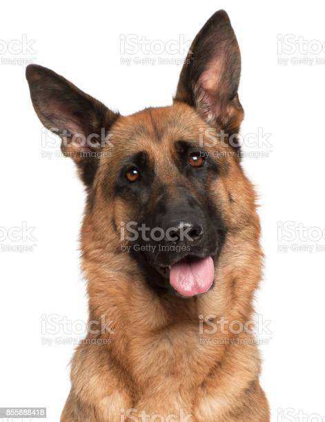 Closeup of german shepherd dog panting 3 years old in front of white picture id855888418?b=1&k=6&m=855888418&s=612x612&h=hhrjxtaav32ftylvmqhue8kd82sseayljgilsybkepa=