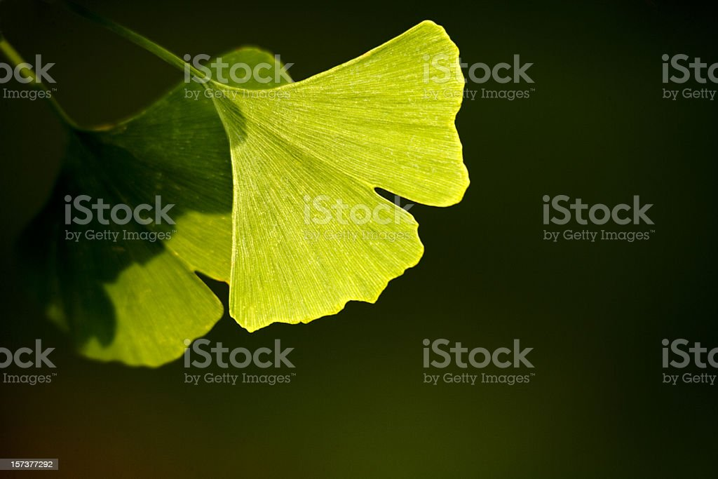 Close-up of Ginkgo biloba leaves back lit royalty-free stock photo