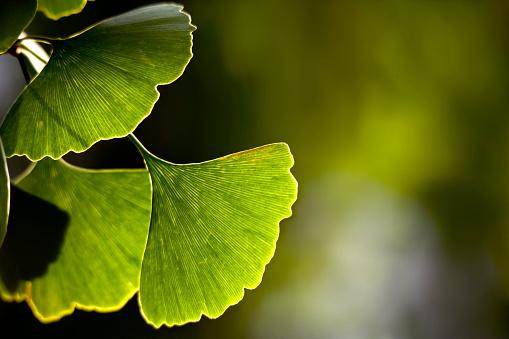 Close-up of Ginkgo biloba leaves back lit
