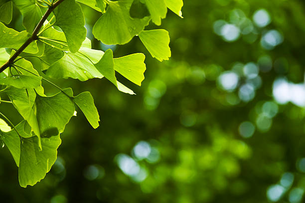 Close-up of Ginkgo leaves stock photo