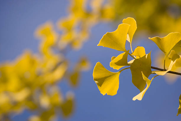 Close-up of Ginkgo leaves (autumn) stock photo