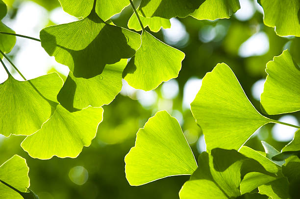 Close-up of Ginkgo leaves with the sun shining through stock photo