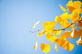 クローズアップの銀杏樹枝で黄色の葉