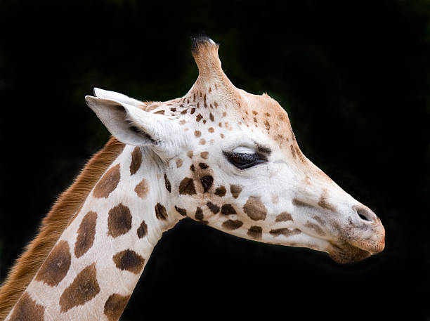 Close-up of giraffe isolated against black background stock photo