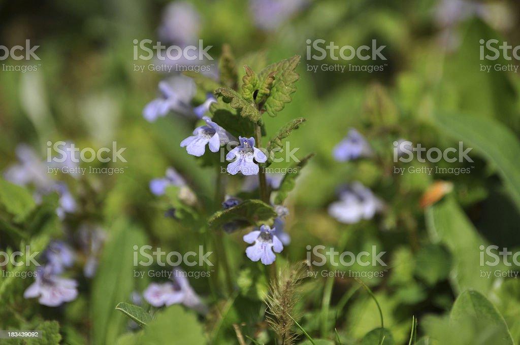 Closeup of Glechoma hederacea stock photo