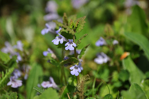 Closeup of Glechoma hederacea stock photo