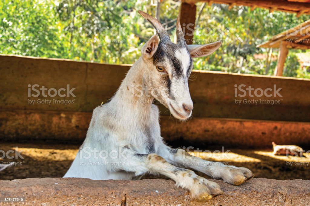 Close-up of goat in a farmhouse near the village of Joanópois. stock photo