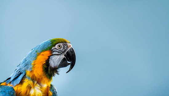 Gold and Blue Macaw looking away. Close-up of multi colored bird. It is against blue background.