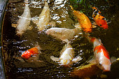 Close-up of gold fishes swimming in water,beautiful on pond