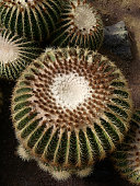 Echinocactus grusonii, as known as the golden barrel cactus, golden ball or mother-in-law's cushion, is a well known species of cactus, and is endemic to east-central Mexico.