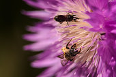 Close-up of golden honey bees that pollinate a flower in a garden with purple petals. Beautiful natural abstract background.