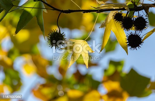 Close-up of golden leaves and spiky black balls seeds of Liquidambar styraciflua, commonly called American sweetgum (Amber tree) in focus against background of blurry leaves. Nature concept for design